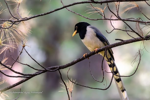 Yellow-billed blue magpie (Urocissa flavirostris)