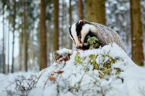 European badger (Meles meles) winter scene. A young badger eats food in a deep forest.