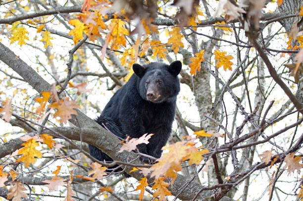 Black bear in a tree in autumn in Canada