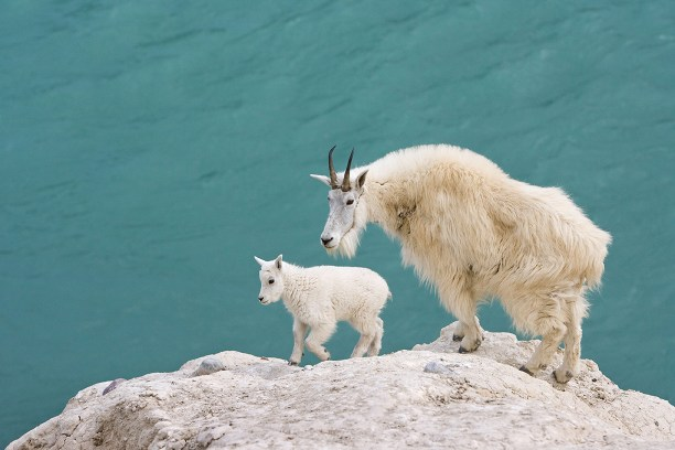 Mountain goat (Oreamnos americanus), nanny and kid, overlooking the Athabasca River, Jasper National Park, Alberta, Canada.