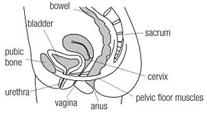pelvic floor anatomy 300 165 s c1