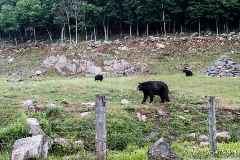 Black-Bears