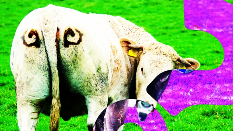 COW-BUTT-EYES