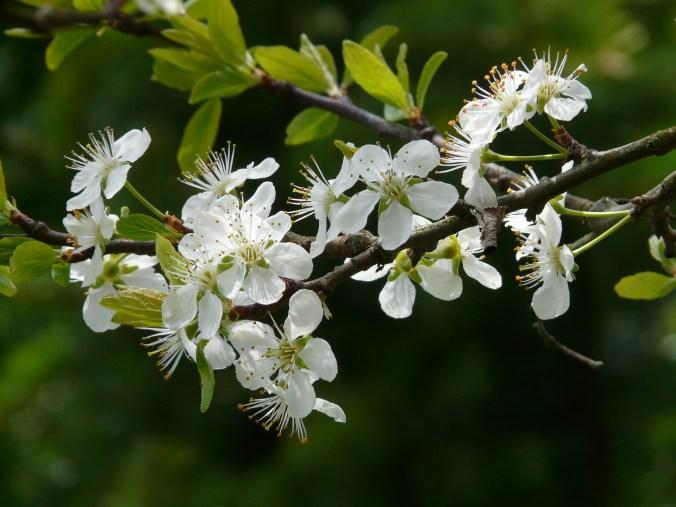 plum-blossom-6855_1920