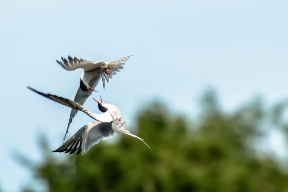 Common Terns by Reto Fürst