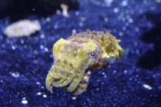 A stumpy cuttlefish is a type of cephalopod