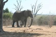 A majestic male elephant roams alone.
