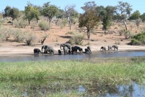 The females in an elephant herd are very protective of the baby elephants. Okavango Delta, Botswana.
