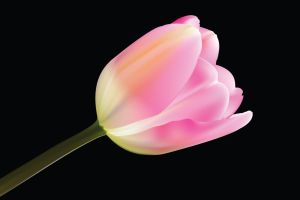 Rose HiRes