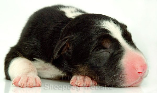 A tiny border collie puppy with tricolour markings, just one day after being born