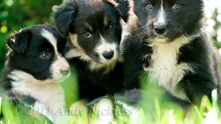 Border Collie puppies Lady and Ezra (right) with a pup from a later litter from Gwen.