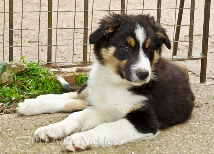 Young border collie sheepdog - Brad