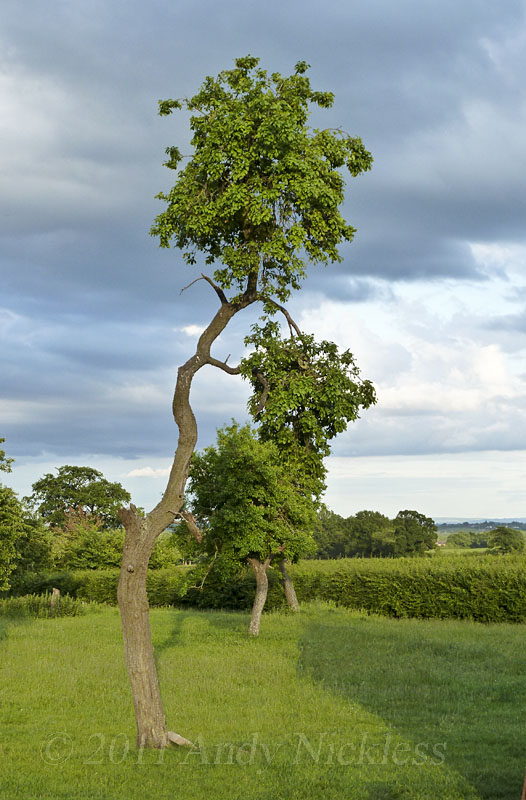 A tall spindly damson tree which we suspect cannot stand for much longer