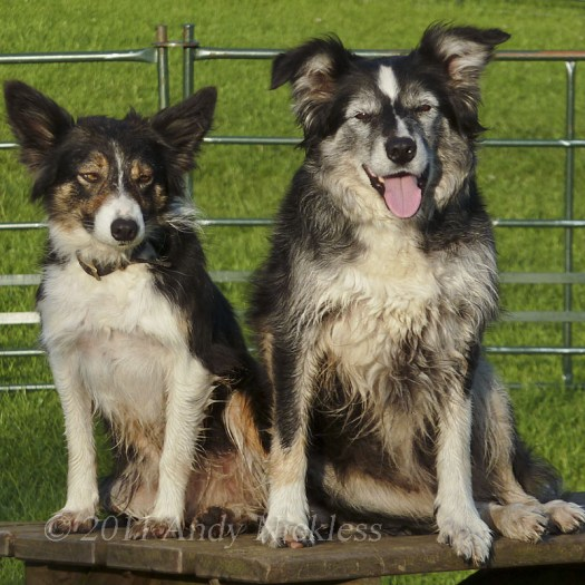 Sheepdogs Kay and Mel relaxing on a bench