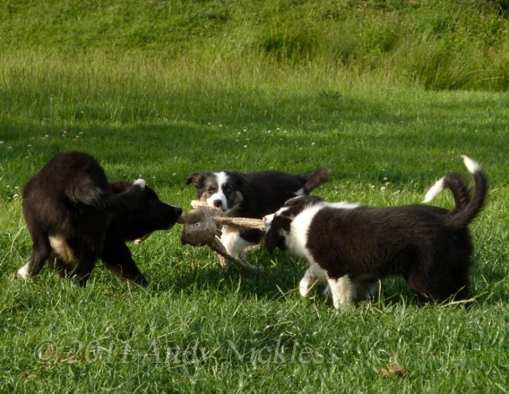 Four puppies playing tug with a fabric toy monkey.