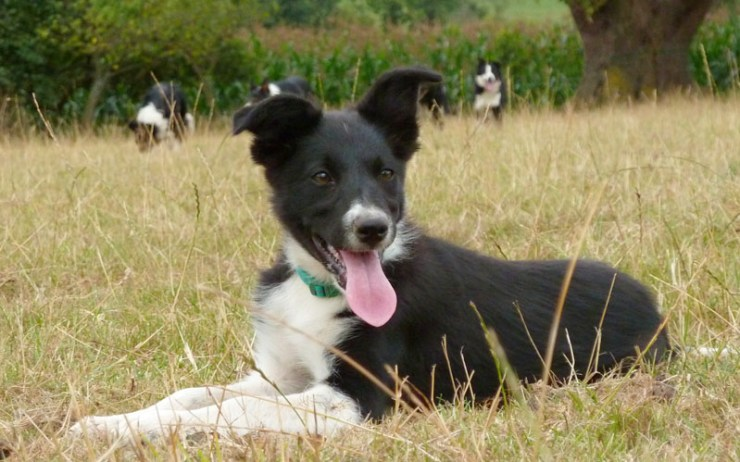 Black and white smooth coated collie puppy