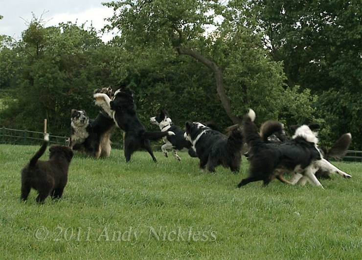 Two adolescent collies are vying for a better position in the middle of the pack, and most of the other dogs seem to have a view on who deserves to win.