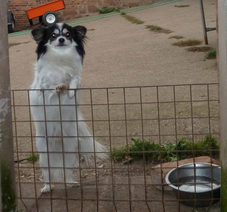 Chester, the black and white Papillon cross, trying to sneak a look at the new arrivals