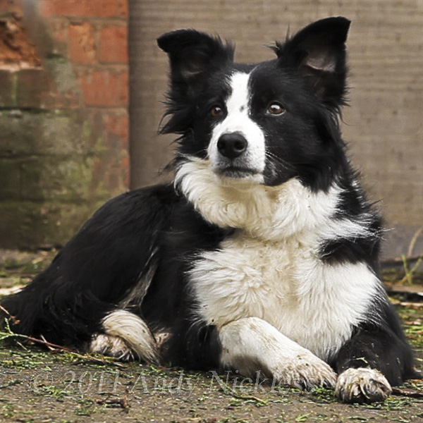 Jill the sheepdog retires at last