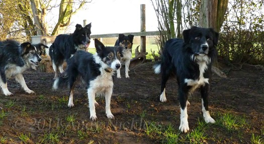 Border collie sheepdogs, Mel, Mick, Kay, Midge and Eli.
