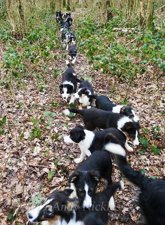 Lots of Border Collie dogs and pups out walking in the woods