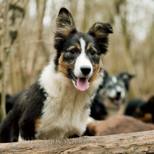 Rita, the tri-colour collie puppy, loves to get out and about