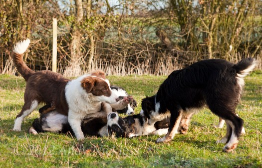 Puppies play-fighting in the early March sunlight