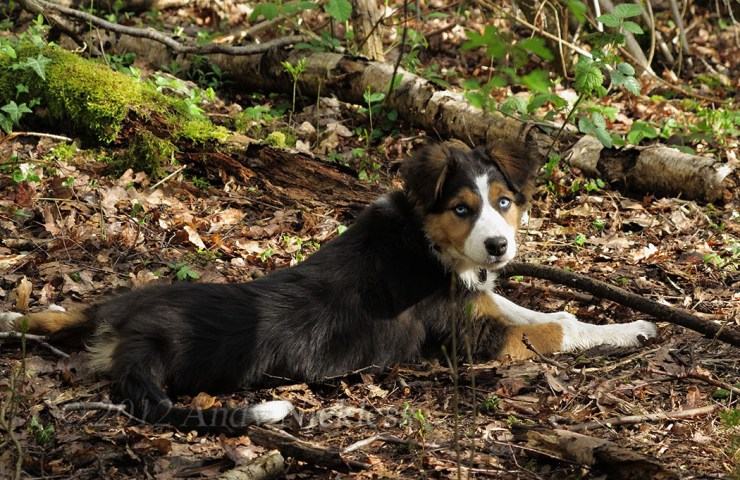 Tricolour Border collie puppy with pale blue eyes