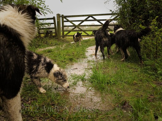A group of our sheepdogs play in the puddles on the bridleway