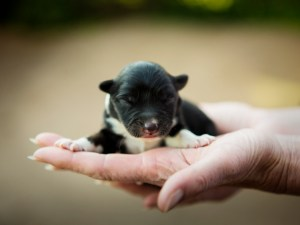 Black and white Border collie puppy at a few hours old