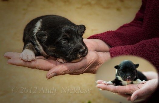 Collie puppy at 10 days old, with photo inlay showing how much she's grown since birth