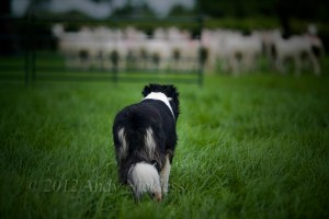 Rear view of sheepdog watching sheep in the distance