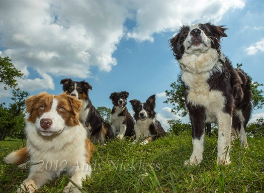 A lovely group of young Border collies; red and white, black and white, and tricolour.