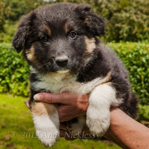 Nine week old tricolour Border collie bitch puppy