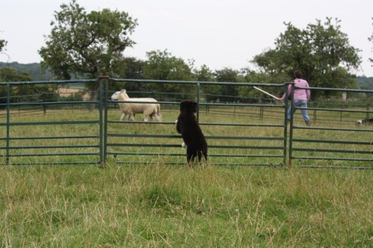 Border collie puppy watches while a young collie is trained with sheep
