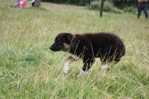 Collie puppy walking up onto sheep