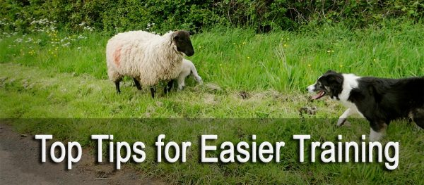 Top tips for easier sheep and cattle dog training