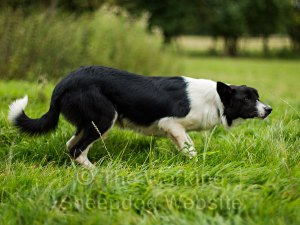 Smooth coated collie dog for active non-working home