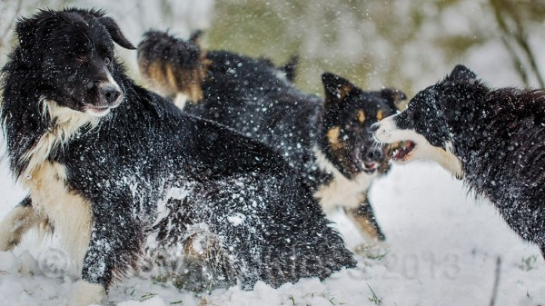 Sheepdogs playing cause a spray of white snow