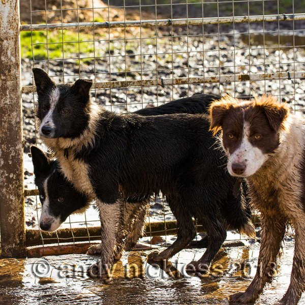 Three young sheepdogs are ready by the gate for a morning run