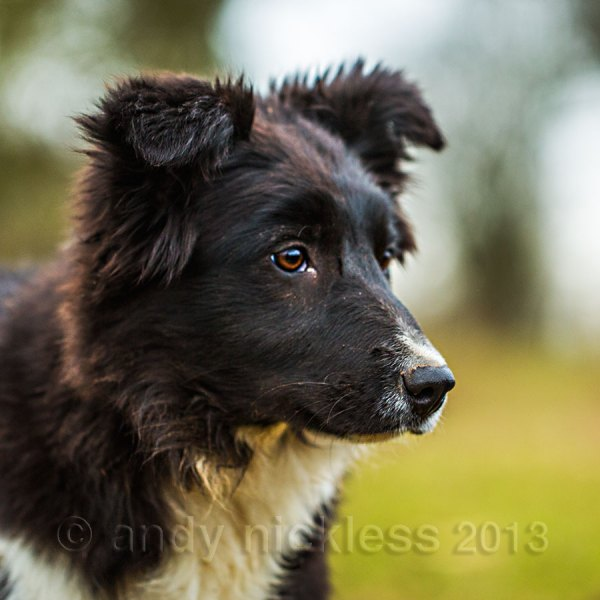 Young border collie sheepdog