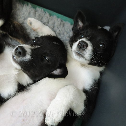 Two black and white smooth coated border collie puppies, taking a well-earned break.