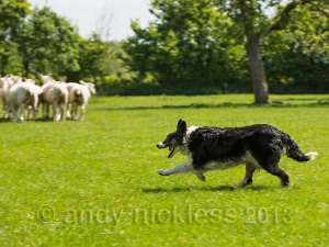 Sheepdog Kay enjoying her work