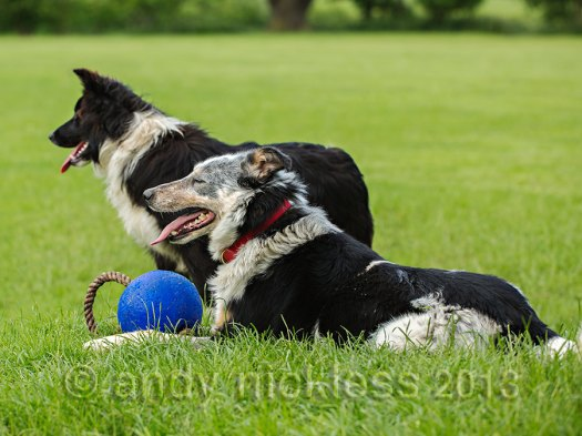 Trainee sheepdog Matt's work has improved dramatically