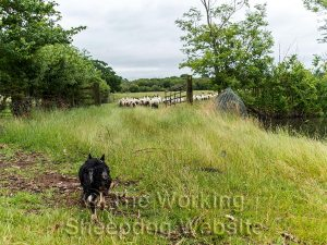 Sheepdog Kay pushes sheep through gateway