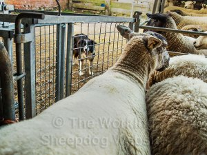 Sheepdog Carew waits outside a crowded sheep sorting pen