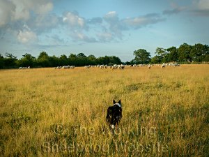 Sheepdog Kay driving a flock of sheep