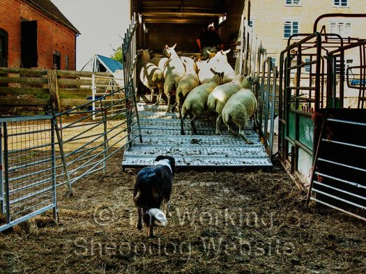 sheepdog loading sheep onto a cattle truck