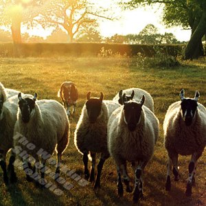 Cattle and sheepdog Mel herding sheep towards the camera in golden sunlight