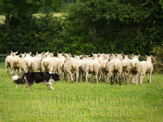 Sheepdog working a small flock of sheep